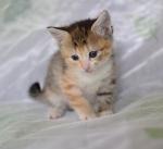 Прекрасные мурлыки в дар - котята и взрослые, разные окрасы и степень пушистости - Страница 2 175f025c622a37289969024b0efc09c5