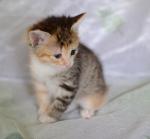 Прекрасные мурлыки в дар - котята и взрослые, разные окрасы и степень пушистости - Страница 2 28bd9c517bce24519c6c016874031637