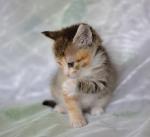 Прекрасные мурлыки в дар - котята и взрослые, разные окрасы и степень пушистости - Страница 2 Ea7611d3f870d57928953d485aa3d328