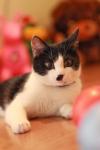 Найден черно-белый кот около Виталюра ул.Налибокская