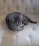 Найден ухоженный полосатый котенок (6-9 месяце)
