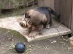 палевый щенок-мальчик